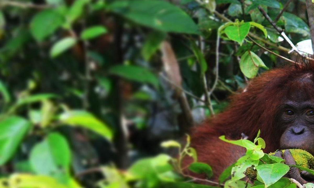 Borneo Orang Utan Wild Life Exploration